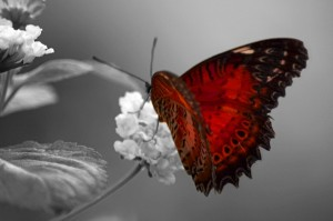 vlinder lagen